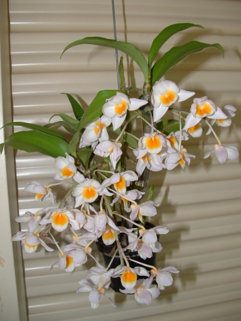 Dendrobium Farmeri-Thyrsiflorum