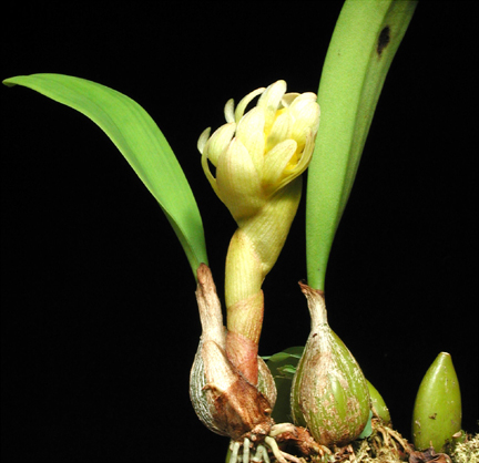 Bulbophyllum bittnerianum