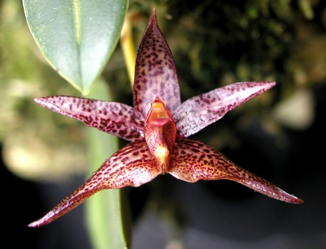 Bulbophyllum truncicola
