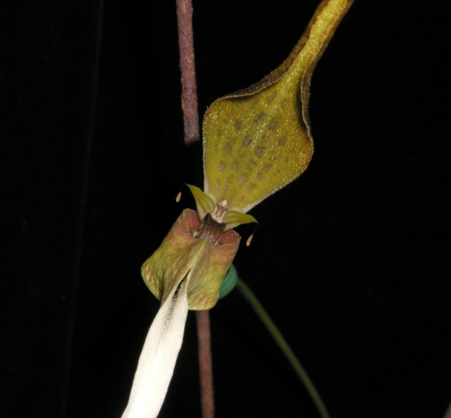 Bulbophyllum antenniferum