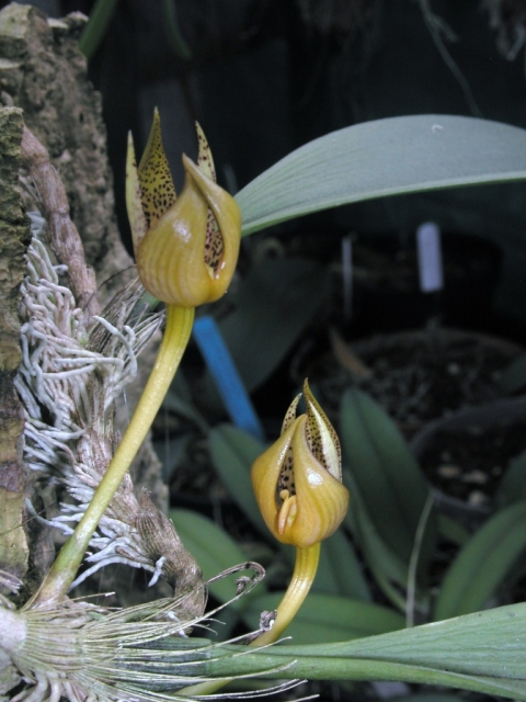 Bulbophyllum emiliorum