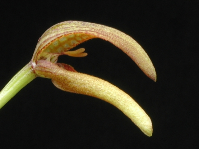 Bulbophyllum section Hyalosema