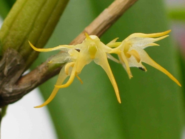 Bulbophyllum cauliflorum