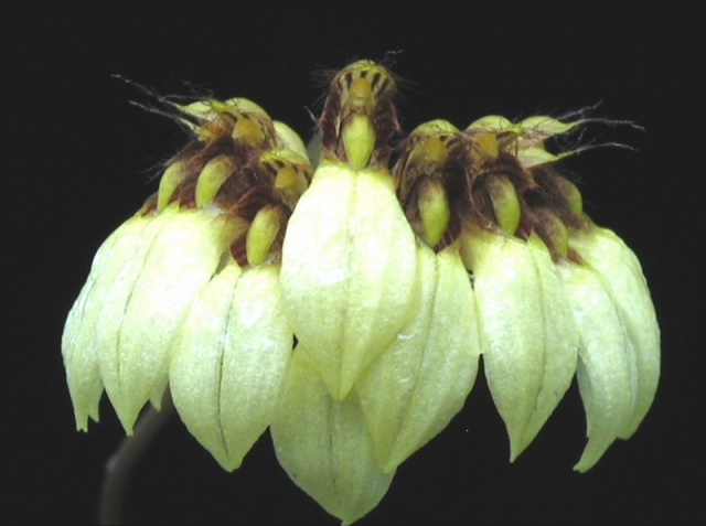 Bulbophyllum sp