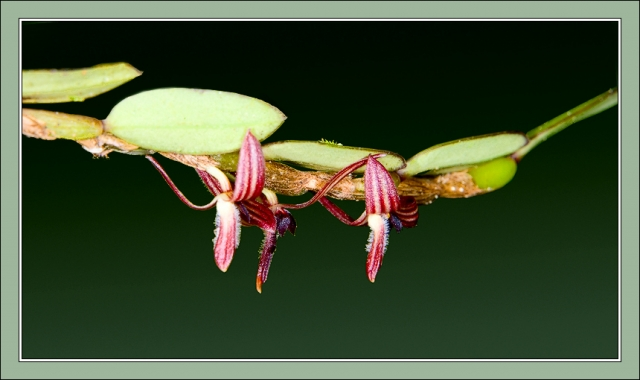 Bulbophyllum sp. section Fruticicola