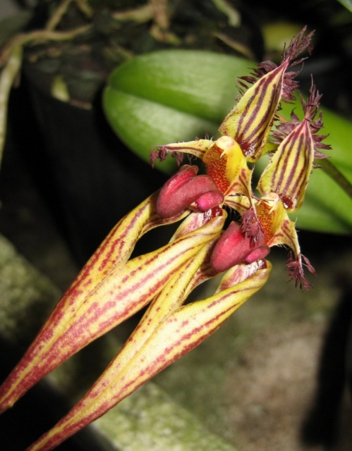Bulbophyllum Cindy Dukes