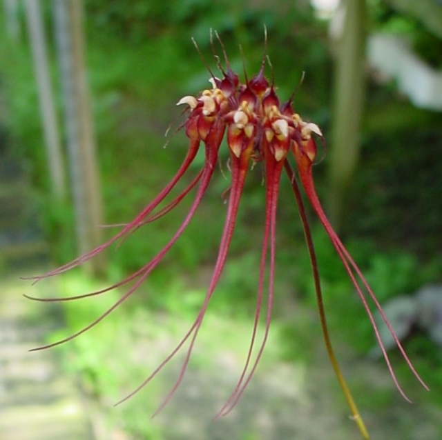 Bulbophyllum gracillimum