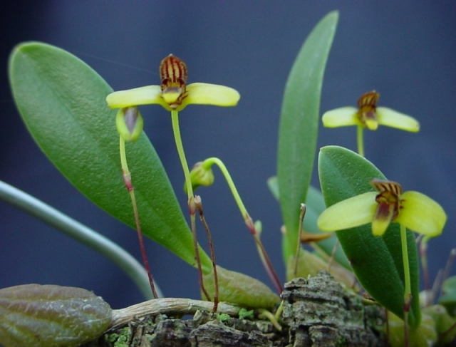 Bulbophyllum johnsonii