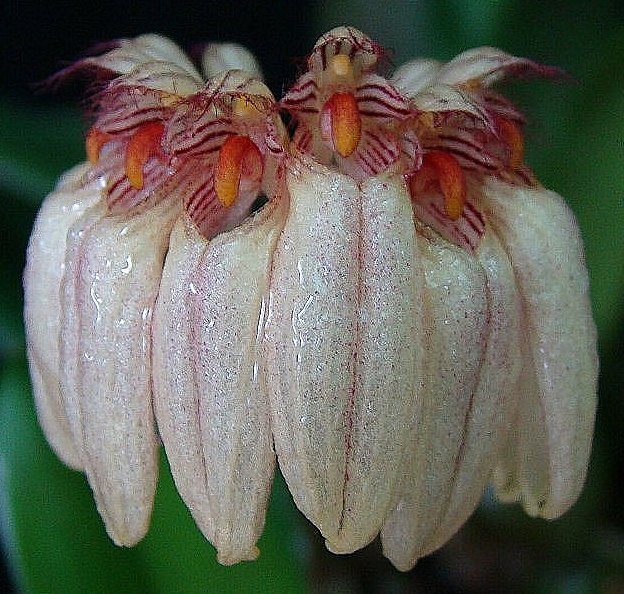 Bulbophyllum roxburghii