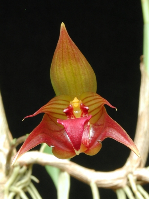 Bulbophyllum uniflorum