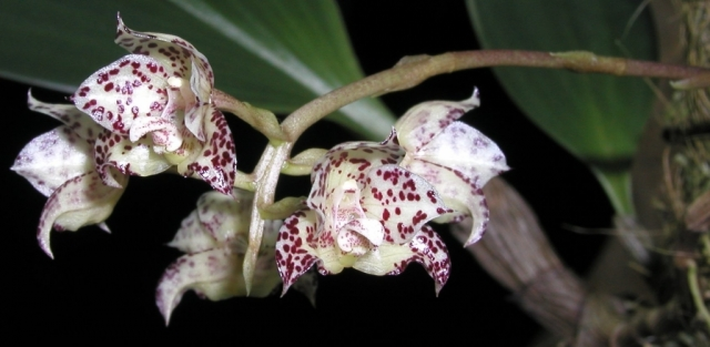 Bulbophyllum refractilingue