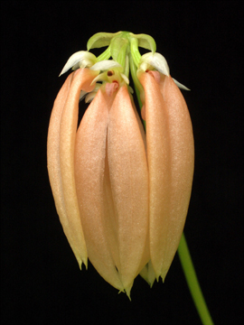 Bulbophyllum salmoneum