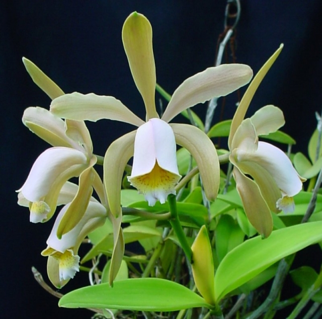 Cattleya forbesii