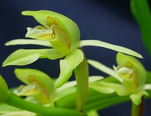 Coelogyne chloroptera