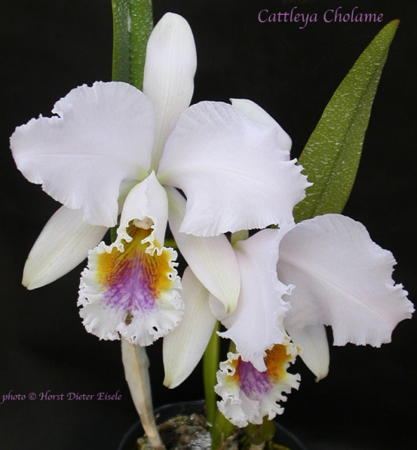 Cattleya Cholame