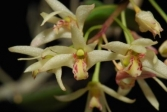 Dendrobium unknown 1