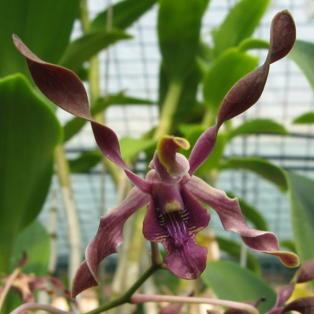 Dendrobium Juleen High