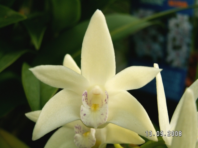 Dendrobium Darlington Quest x Aussie Quest xx Grarose 'Lemon Drops'