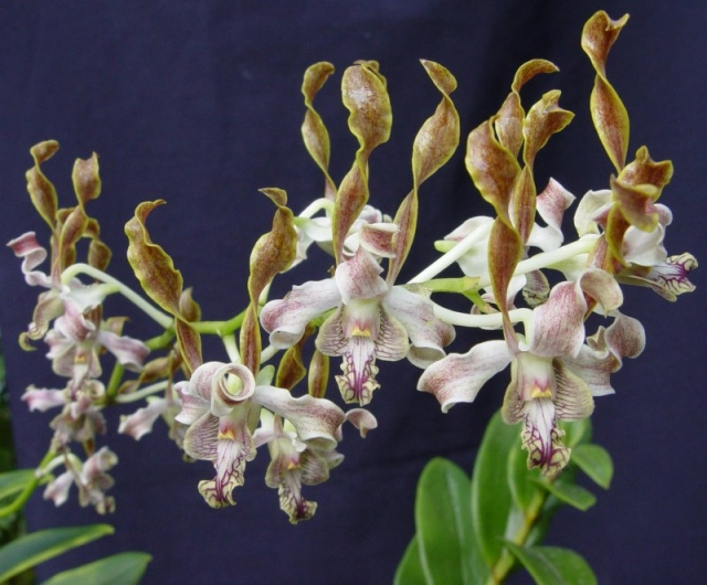 Dendrobium Verninha