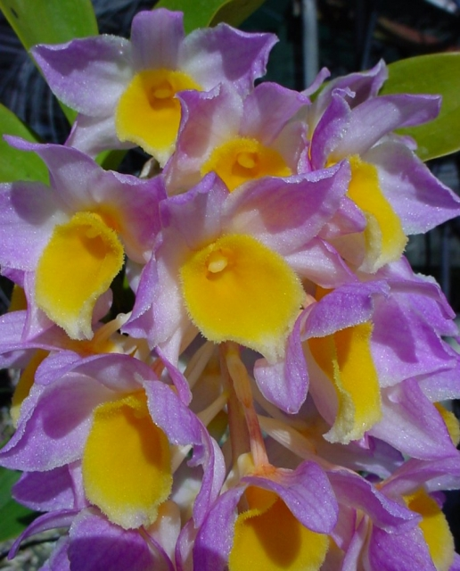 http://www.orchidsonline.com.au/files/images/DendrobiumMouseMee08.preview.jpg
