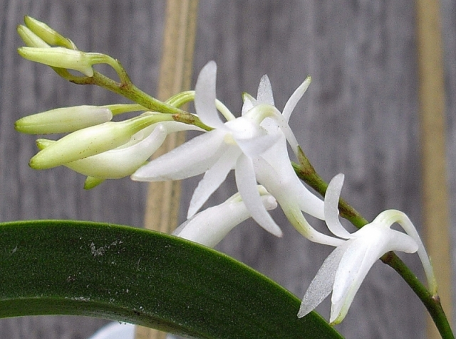 Dendrobium moorei