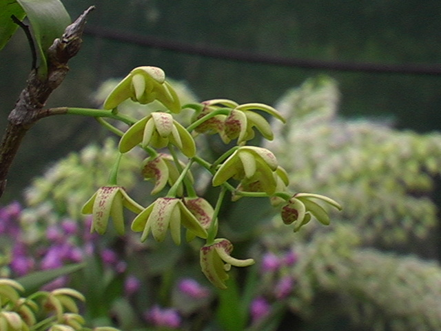 Dendrobium gracilicaule