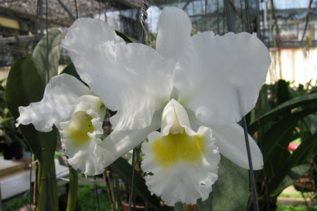 Cattleya Swan Lake x Princess Bells