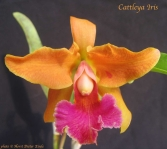 Cattleya Iris