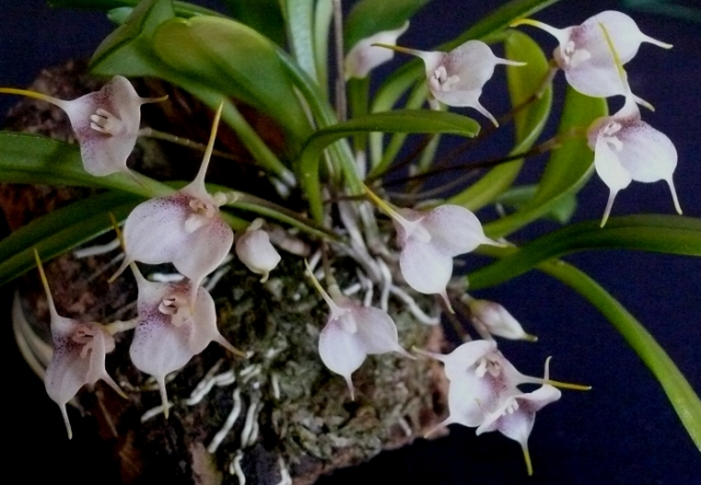 Masdevallia floribunda