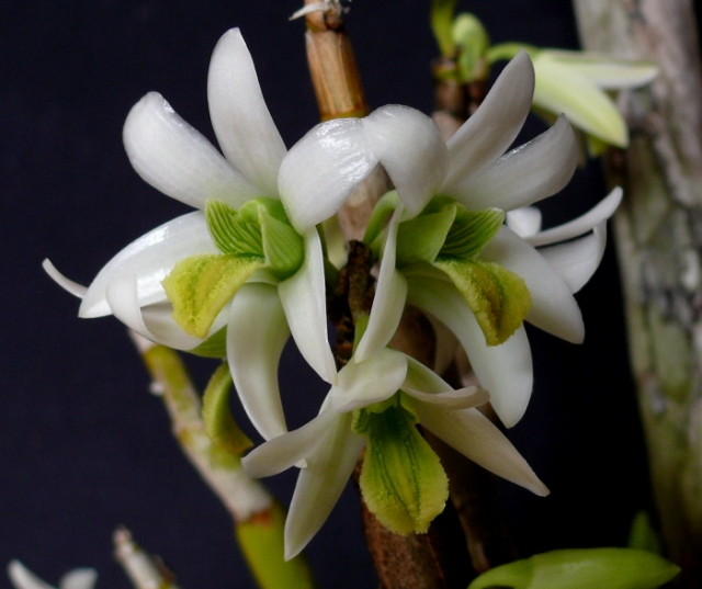 Dendrobium scabrilingue