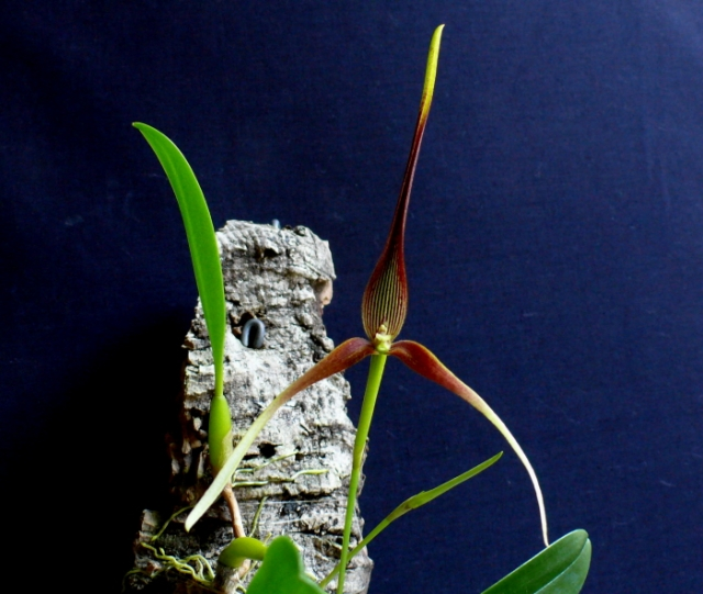 Bulbophyllum unitubum