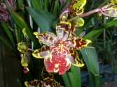 Odontocidium Wildcat 'Bloodshot'