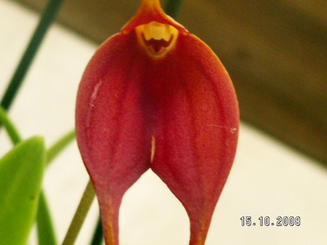 Masdevallia Parlatoreana &#039;Jul&#039; x stenorhynchos