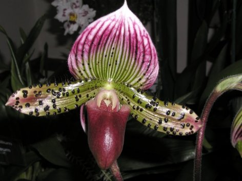 Paphiopedilum Raisin Glory