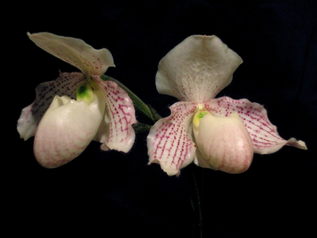 Paphiopedilum Ron Williamson