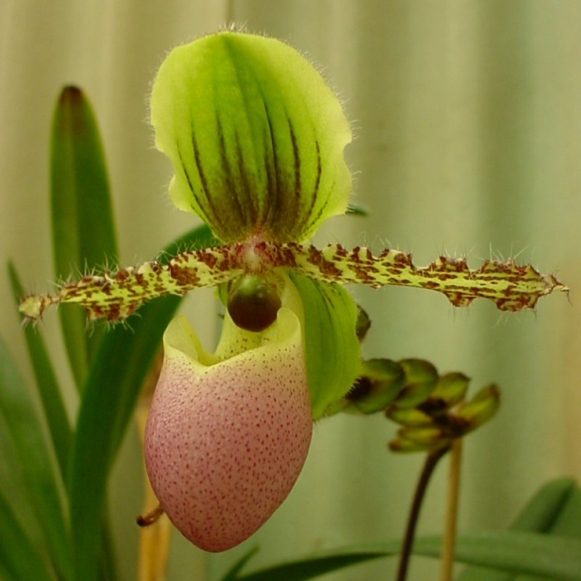 Paphiopedilum victoria-regina
