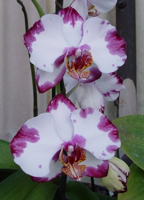 Doritaenopsis (Phal. Hsinying Yuki x Dtps. Ching Hua Magic &#039;Heather&#039;)