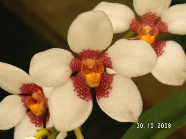 Sarcochilus Memoria Leney Smith x Fitzhart