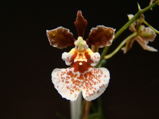 Tolumnia Kinnaree x William Thurston