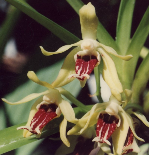 Vanda cristata