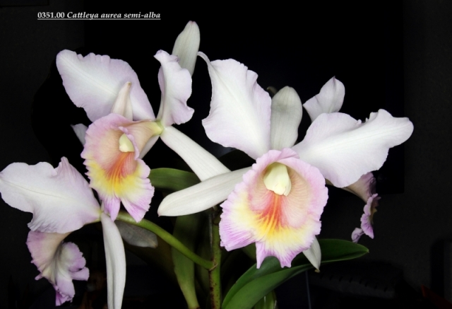 Cattleya dowiana var. aurea