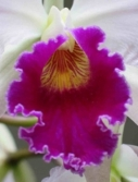 Cattleya unknown - lip detail