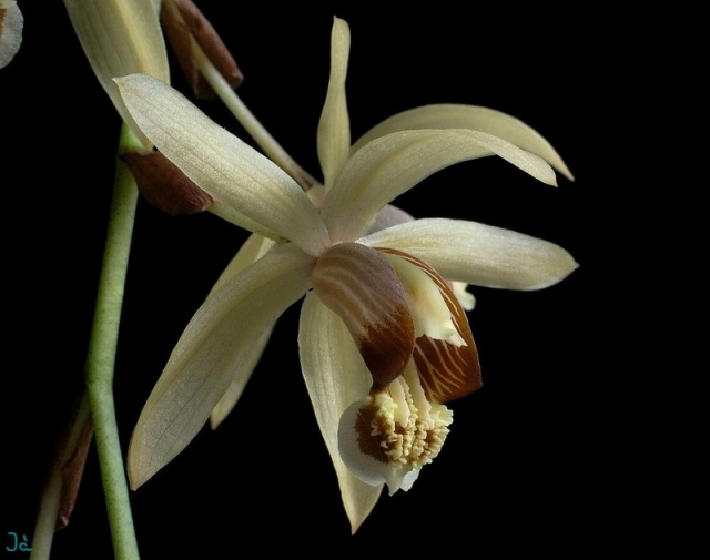 Coelogyne tomentosa