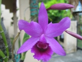 Cattleya unknown hybrid
