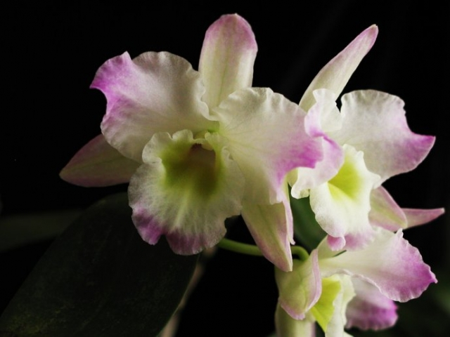 Dendrobium New Star