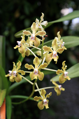 Vanda lamellata