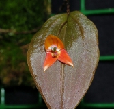 Lepanthes niesseniae