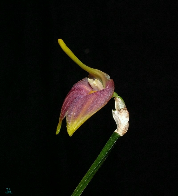 Masdevallia revoluta