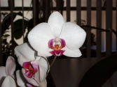 Phalaenopsis unknown