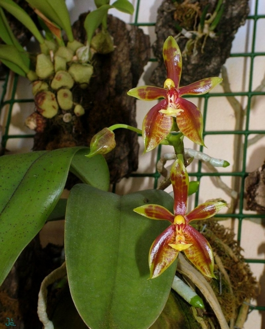 Phalaenopsis mannii